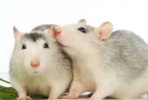 Ratas interacción social