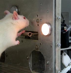 Rata en experimento de laboratorio