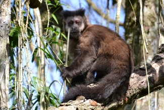 cebus_nigritus_cucullatus_black_capuchin_-_southern_form